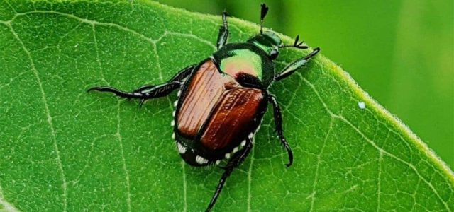 Japanese Beetle Alert!