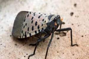Lanternfly Adult