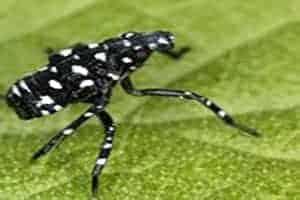 Lanternfly Nymph Spring