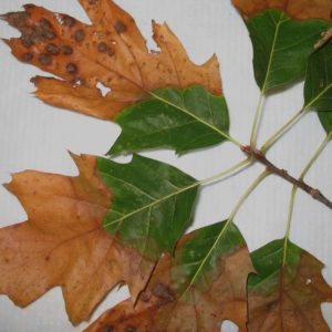 BLS – Bacterial Leaf Scorch