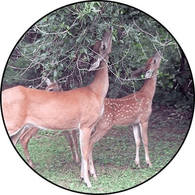 Two deer eating tree leaves