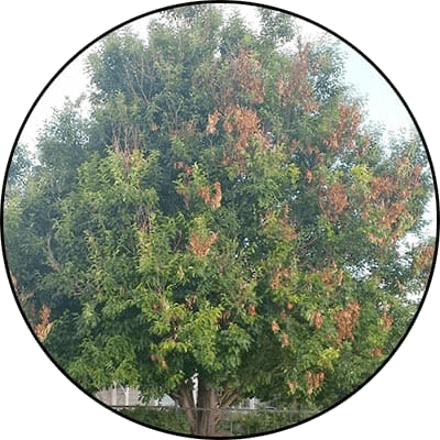 Tree with Fireblight