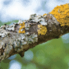 What is growing on my trees? LICHENS!