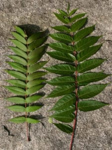 tree-heaven-leaves